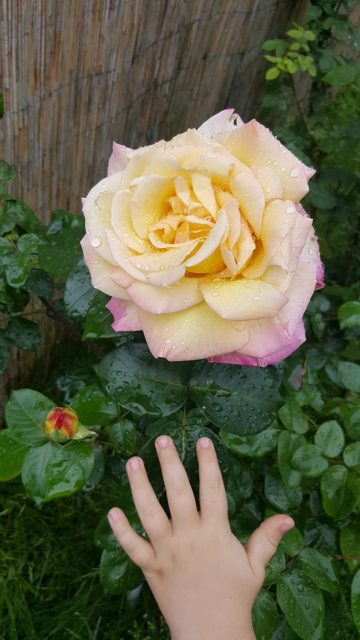 Gradina Copiilor Trandafir Luna Mai